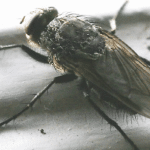 Overwintering Pests ( Cluster Flies)