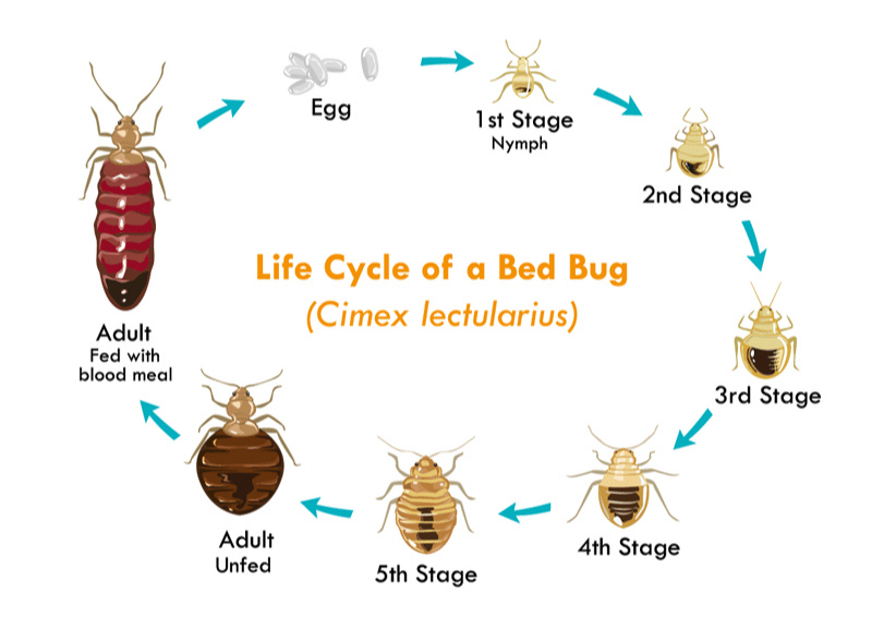 Bed Bug Growth Cycle